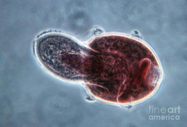 Protozoa Art Print featuring the photograph Didinium Nasutum, Ingesting Paramecium by Eric V. Grave