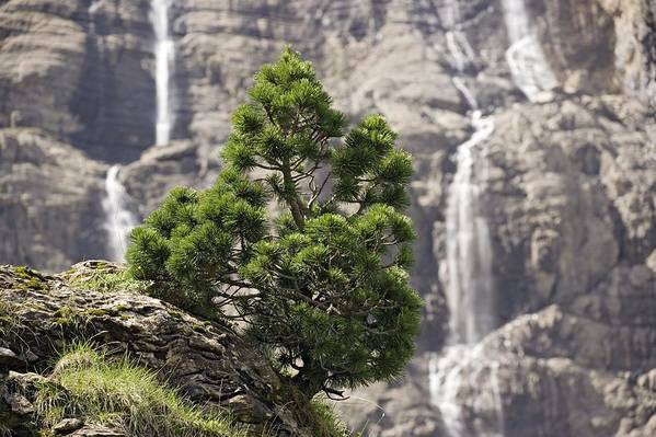 Dwarf Mountain Pine Art Print featuring the photograph Dwarf Mountain Pine (pinus Uncinata) by Bob Gibbons