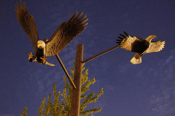Bald Eagles Art Print featuring the photograph Eagles Suspended by Mick Anderson
