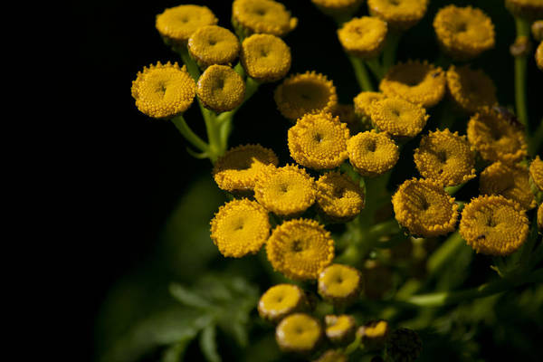 Tansy Art Print featuring the photograph Early Tansy by Jessica Lowell