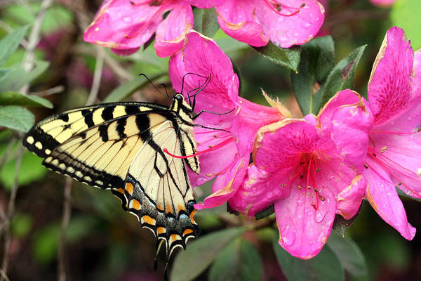 Florida Art Print featuring the photograph Eastern Tiger Swallowtail On Azalea by April Wietrecki Green