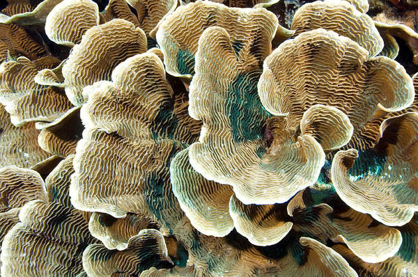 Pachyseris Sp. Art Print featuring the photograph Elephant Skin Coral (pachyseris Sp.) by Matthew Oldfield