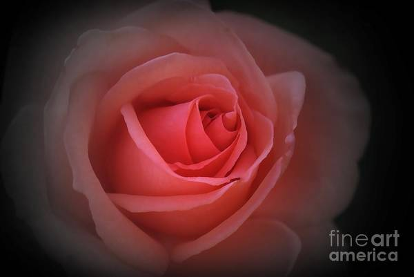 Red Art Print featuring the photograph English Red Rose by Stephen Clarridge