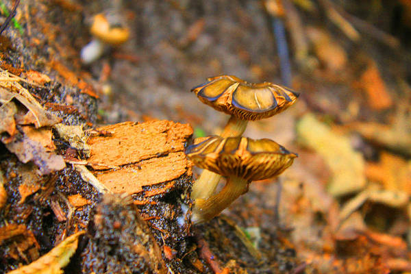 Mushrooms Art Print featuring the photograph Epworth Mushrooms by Pat LeBoeuf