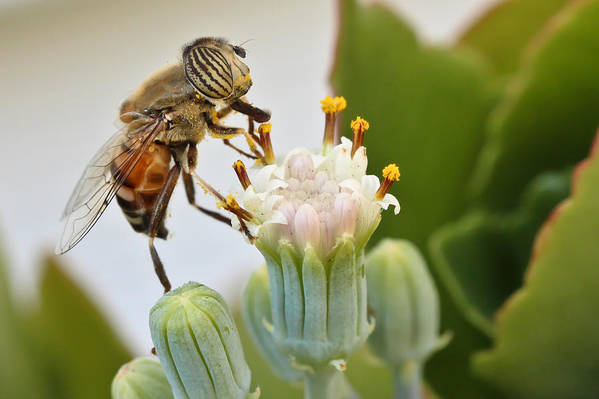 Hover Fly Art Print featuring the photograph Eristalinus Taeniops by Heidi Smith