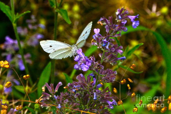 Cabbage Butterflies Art Print featuring the photograph Everyday Miracles by Byron Varvarigos