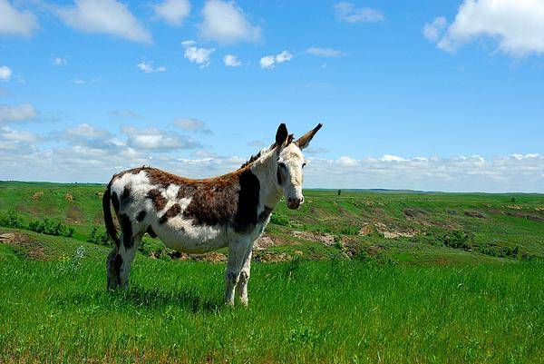 Mule Art Print featuring the photograph Exotic Mule In Montana by Wanda Jesfield