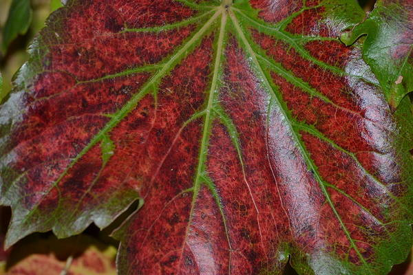 Leaf Art Print featuring the photograph Fall On The Vine by Kim Hymes