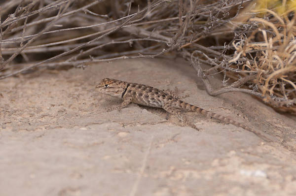 Red Rock Canyon Art Print featuring the photograph Fence Lizard by Daniel Milligan