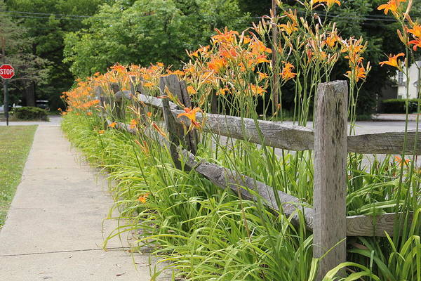 Tiger Lillies Art Print featuring the photograph Fence Of Flowers by Donna Bosela