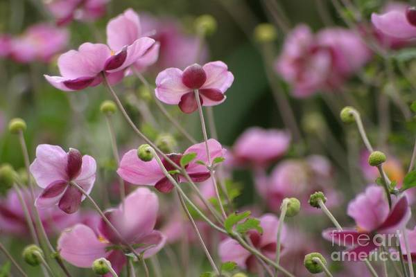 Floral Art Print featuring the photograph Field Of Japanese Anemones by Living Color Photography Lorraine Lynch