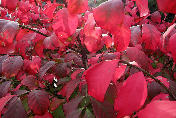 Fall Art Print featuring the photograph Fire Bush Wc by Lyle Crump