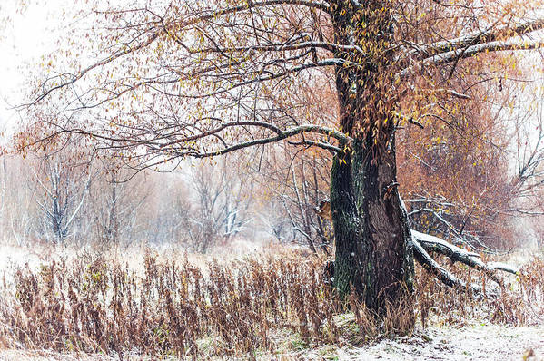 Snow Art Print featuring the photograph First Snow. Old Tree by Jenny Rainbow