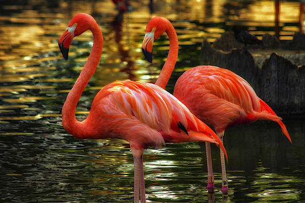 Pink Flamingos Art Print featuring the photograph Flamingos by Linda Tiepelman