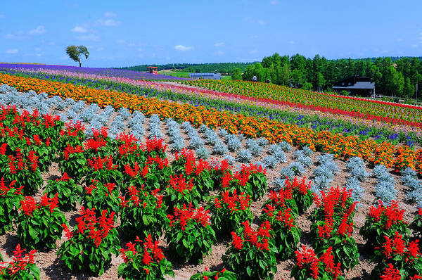 Horizontal Art Print featuring the photograph Flower Field by Frank Chen