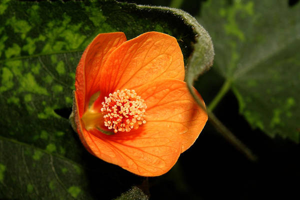 Nature Art Print featuring the photograph Flowering Maple Singe Flower by Robert Morin