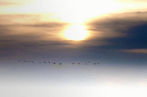 Geese Art Print featuring the photograph Flying South For The Winter by Bill Cannon