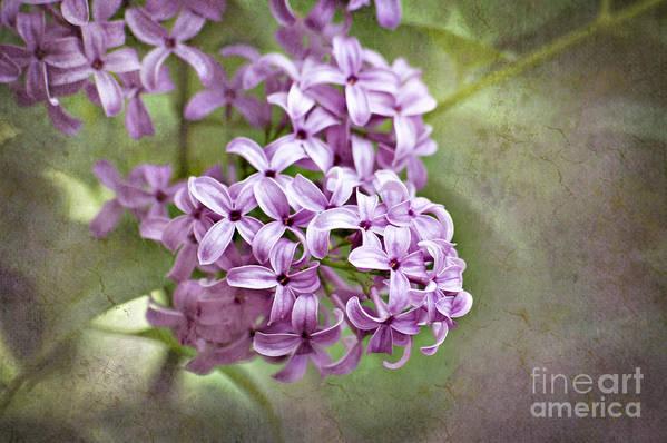 Lilac Art Print featuring the photograph Fragrant Purple Lilac by Cheryl Davis