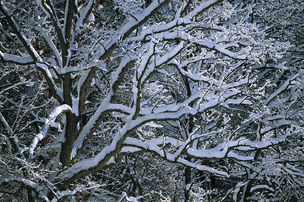Outdoors Art Print featuring the photograph Fresh Snowfall Blankets Tree Branches by Tim Laman