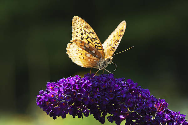 Horizontal Art Print featuring the photograph Fritillary Butterfly On Butterfly Bush, Near Madoc, Ontario, Canada by Janet Foster
