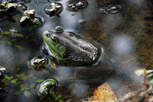 Frog Art Print featuring the photograph Frog In The Millpond by Kay Lovingood
