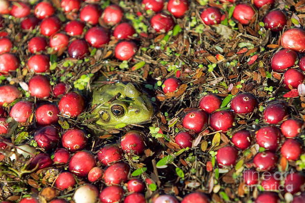 Fall Art Print featuring the photograph Frog Peaks Up Through Cranberries In Bog by Matt Suess