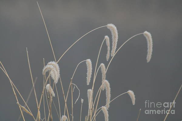 Grass Art Print featuring the photograph Frosted Grass In Fog by Roger Look
