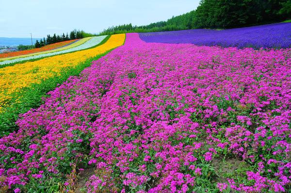 Horizontal Art Print featuring the photograph Furano Lavender Season by Frank Chen