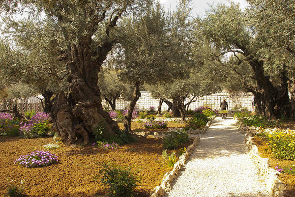 Garden Of Gethsemene Art Print featuring the photograph Garden Of Gethsemene Jerusalem by Daniel Blatt