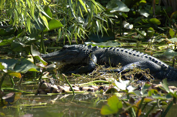 Wildlife Art Print featuring the photograph Gator Time by Al Cash