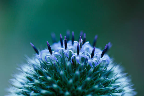 Horizontal Art Print featuring the photograph Globe Thistle by Laszlo Podor Photography