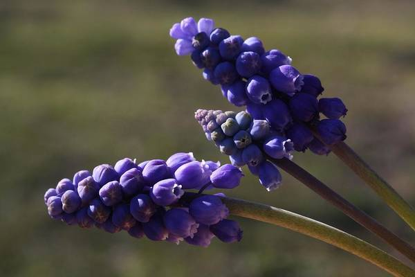 Hyacinth Art Print featuring the photograph Glorious Purple by Cindy Stewart