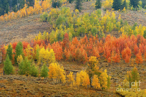 Bronstein Art Print featuring the photograph Grand Teton Fall Color by Sandra Bronstein