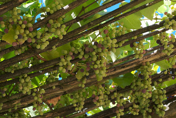 Nobody Art Print featuring the photograph Grapes Grow On Vines Draped by Heather Perry