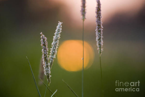 Heiko Art Print featuring the photograph Grass Blooming by Heiko Koehrer-Wagner