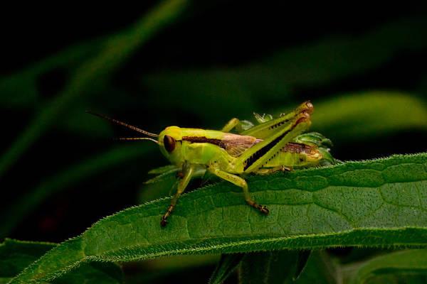 Grasshopper Art Print featuring the photograph Grasshopper 2 by Douglas Barnett