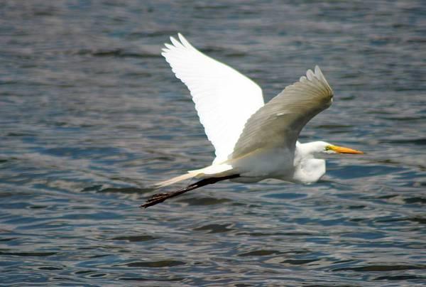 Bird Art Print featuring the photograph Great White Egret by Norman Cogswell