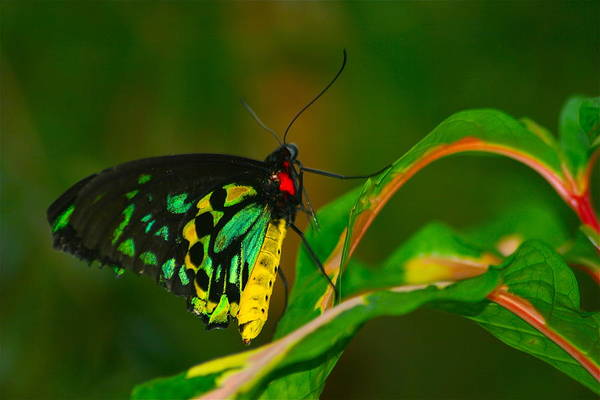 Butterfly Art Print featuring the photograph Green Butterfly by Elizabeth Ericson