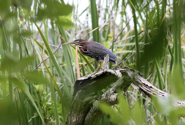 Green Heron Art Print featuring the photograph Green Heron by Suzie Banks