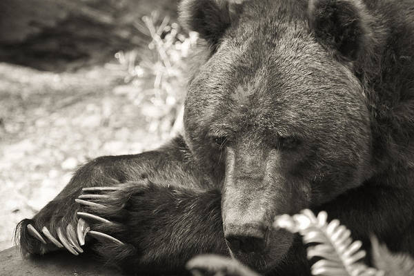 Grizzly Bear Art Print featuring the photograph Grizzly At Rest by Steve McKinzie