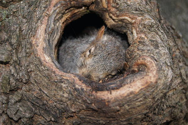 Hole Tree Squirrel Art Print featuring the photograph Hard Days Night. by Anthony Intagliata