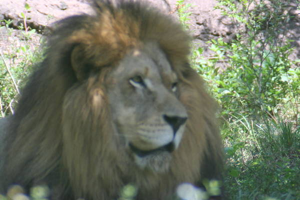 Lion Art Print featuring the photograph Here Kitty Kitty Kitty by James Johnson