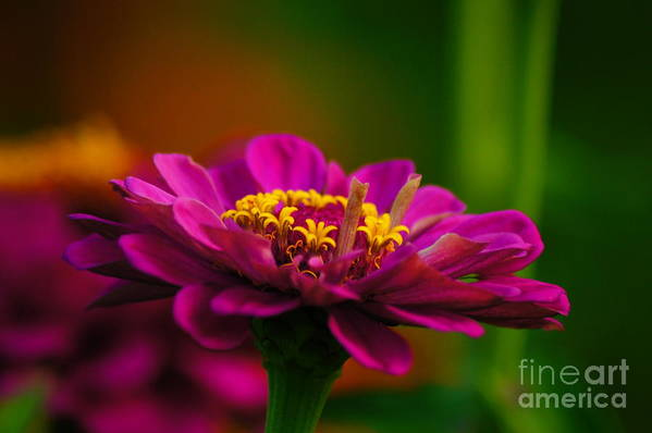 Zinnia Art Print featuring the photograph Hot Pink Is In For Summer by Diane Stresing
