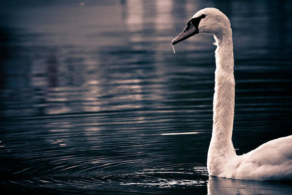 Swan Art Print featuring the photograph Hungry Swan by Justin Albrecht