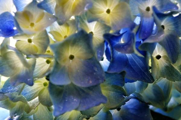 Hydrangea Art Print featuring the photograph Hydrangea Close-up by Alex Schindel