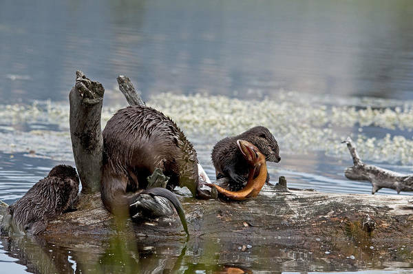 Otters Art Print featuring the photograph I Got It by Eric Nelson