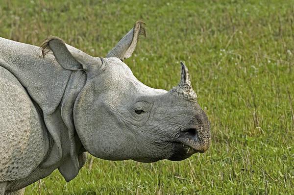 Rhinoceros Unicornis Art Print featuring the photograph Indian Rhinoceros by Tony Camacho