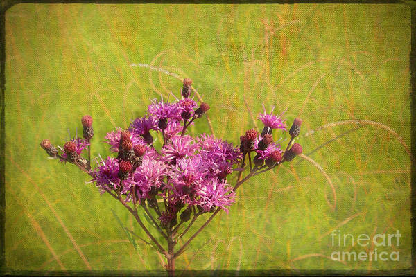 Purple Art Print featuring the photograph Ironweed In Autumn by Judi Bagwell