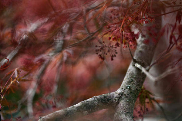 Plants Art Print featuring the photograph Japanese Maple Blur by Janice M LeCocq
