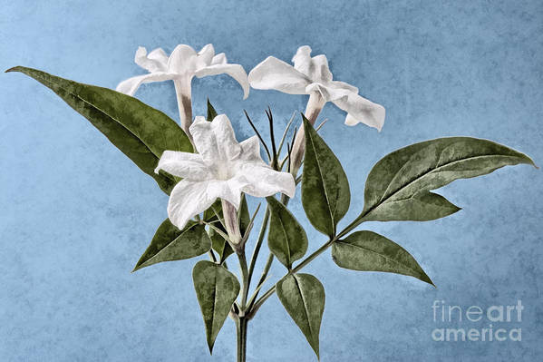 Jasminum Officinale Print featuring the digital art Jasminum Officinale by John Edwards